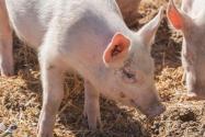 非洲猪瘟疫情如何防控不反弹?农业农村部出台十不得措施有效解决!
