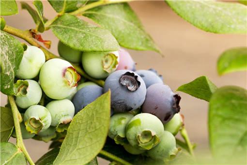 2020年种蓝莓一亩能挣多少钱?高产种植技术有哪些?