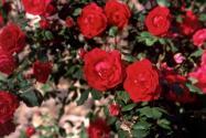 深山石缝千年玫瑰开花!位置在哪里?可以嫁接吗?附嫁接方法