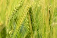 小麦中后期管理重点是什么?专家提醒农民:以提高粒重为核心!