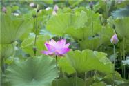 荷花种植方法是什么?什么时间种最好?水深要求有哪些?