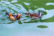 婺源鸳鸯湖迎今年首批越冬鸳鸯!它们的生活习性是怎样的?附详情!