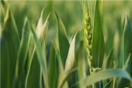 2021年小麦最低保护价格是多少?还有补贴吗?