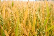 2021小麦最低收购价什么时候出来?会上调吗?