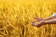 2021水稻保护价格是多少?会涨价吗?