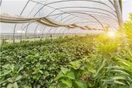 2021年农村大棚种什么赚钱?这几个项目收入不菲!