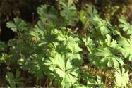 """国家一级保护植物""""独叶草""""主要分布在哪?有什么药用功效?"""