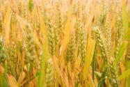 小麦价格2021最新行情:今天小麦多少钱一斤?会涨到1.3吗?