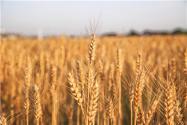 山东小麦价格2021最新行情:现在多少钱一斤?附今日小麦价格!