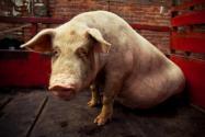 猪坚强去世了吗?猪坚强活了多少年?怎么活下来的?