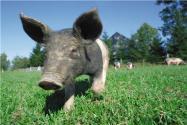 猪坚强去世是真的吗?猪坚强现在多少岁?