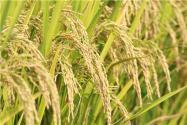 稻谷价格最新行情2021年:现在多少钱一斤?附今日全国稻谷最新价格