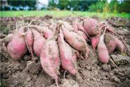 红薯几月挖最好?2021年种植红薯国家有补贴吗?附最新每亩补贴标准!