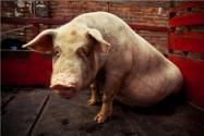 卖一头猪亏七八百元!具体是怎么回事?附详细原因!