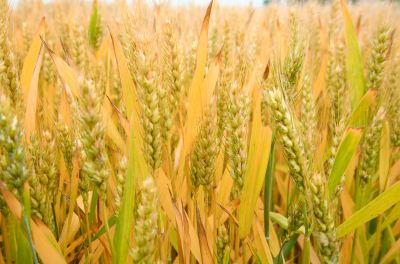 2019年小麦价格预测