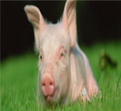 生猪价格下降原因及今日价格走势