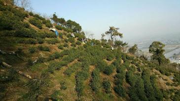 湖州长兴县78亩茶园转让