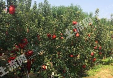 三门峡  湖滨区 20亩 果园 出租
