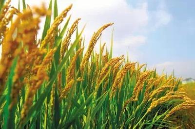 要切實執行好2015年小麥最低收購價政策