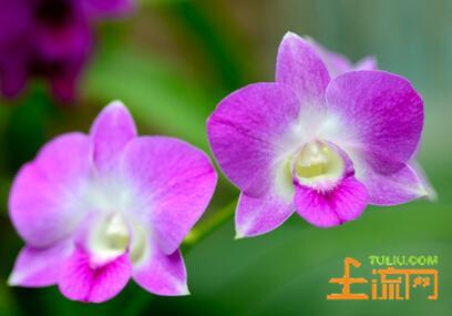 兰花开花季节图片