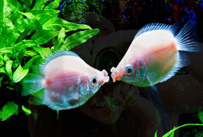 热带接吻鱼为什么会互相接吻?接吻鱼喜欢吃什么饲料?