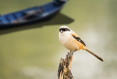 """""""雀中猛禽""""伯劳鸟喜欢吃什么食品和虫子?"""