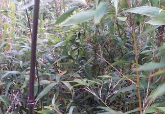 竹子是樹還是草?是木本植物還是草本植物?