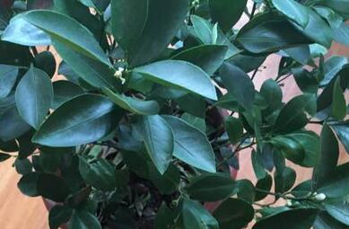 柠檬树不开花只长枝条图片