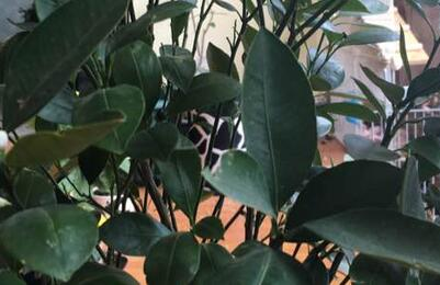 柠檬树不开花怎么回事图片
