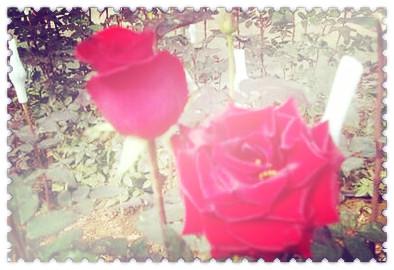 日本的国花是什么花啊图片