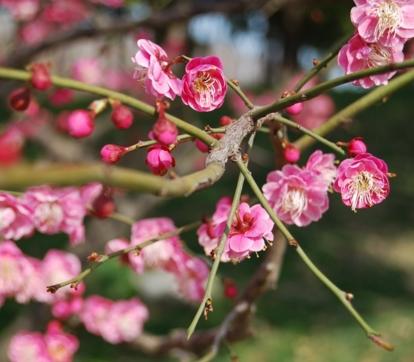 梅花树什么时候开花