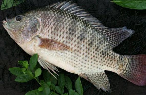 罗非鱼苗养殖技术
