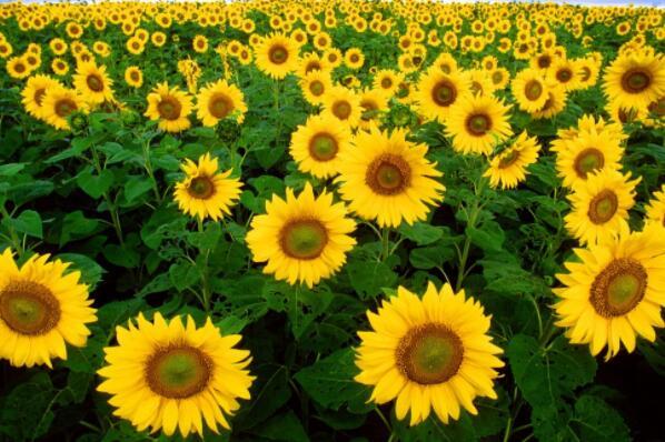菊科向日葵的种子怎么种?什么时候播种?方法
