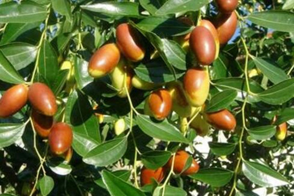 马牙枣几月份成熟