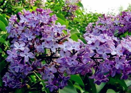 丁香花影响花开原因图片