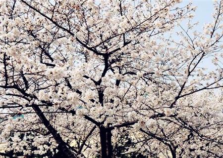 中国武汉樱花开花时间图片