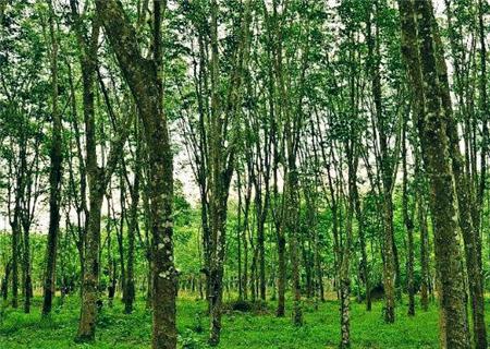 橡胶树苛重网罗哪些品种?一百棵一年收入众少