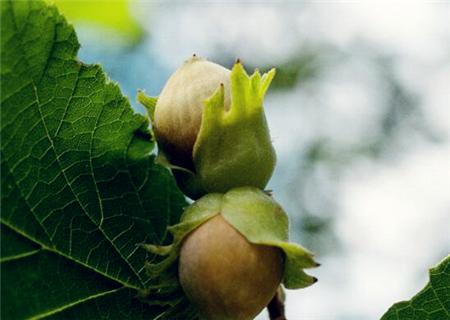 """""""四大干果之一""""榛子苗众少钱一棵?种植市集"""