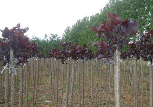 全紅楊苗木價格大概多少錢一棵?全紅楊的種植前景?