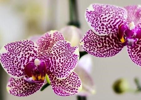 蝴蝶兰为什么不开花?种植需要注意些什么?