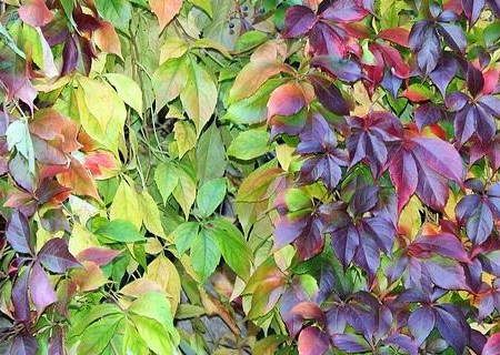 爬山虎種子怎么種?有哪些用途?和常春藤有什么區別?