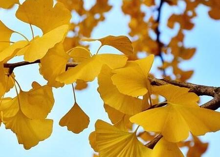 銀杏樹種子的種植方法 銀杏樹的價值和用途