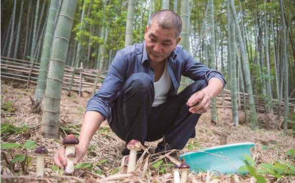 """毛竹林下养出""""大球盖菇""""每亩多挣5万元  大球盖菇的种植方法"""