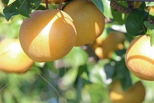 天然矿泉水黄金梨市场价多少钱一斤?亩产多