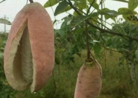 这种可怕的东西是野香蕉?能吃吗?