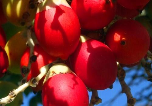 椰枣一天吃几个?怎么吃?