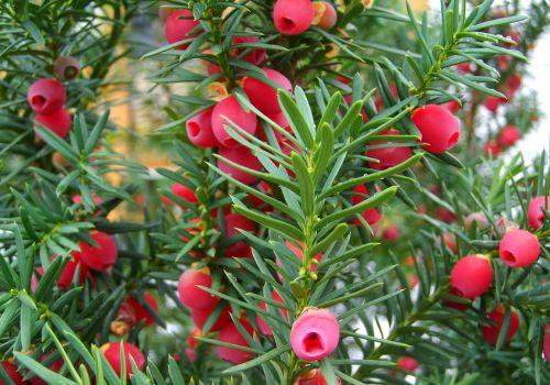 长满红色果实的红豆杉