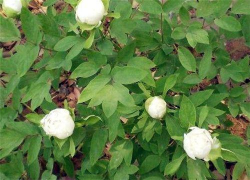 白芍种植前景
