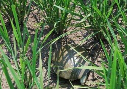 稻田的甲鱼养殖