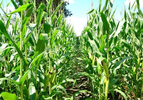 一亩地能出多少玉米